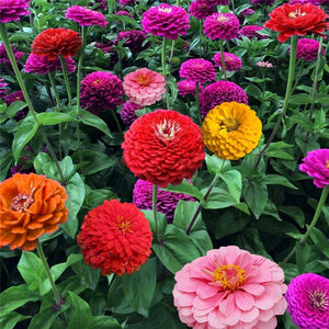 Zinnia Yoga Mixed - Flower Seeds