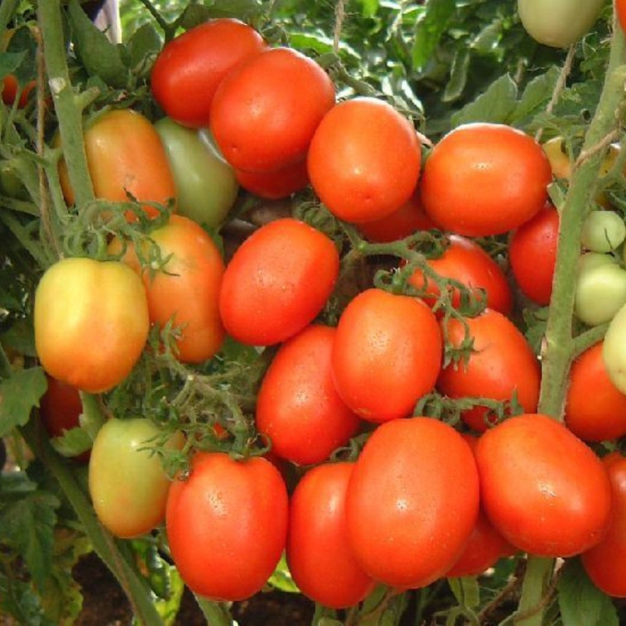 Tomato F-1 Hybrid US-99 (Indeterminate) - Vegetable Seeds