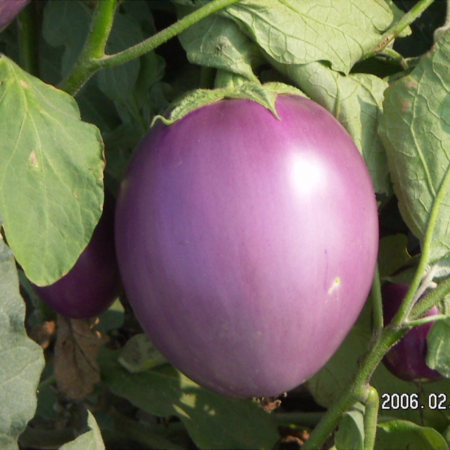 Brinjal Pusa Purple Round (PPR) - Vegetable Seeds