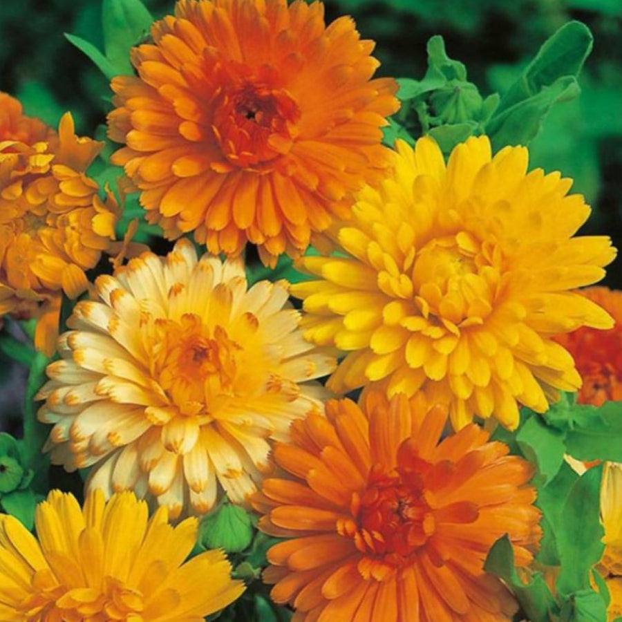 Calendula Double Mixed