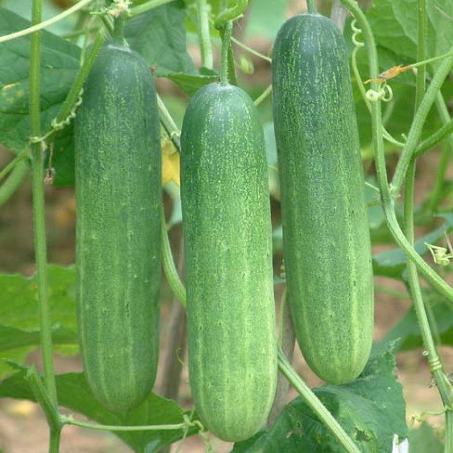 Cucumber F-1 Hybrid Thai Green