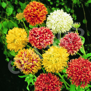 Gaillardia Double Mixed