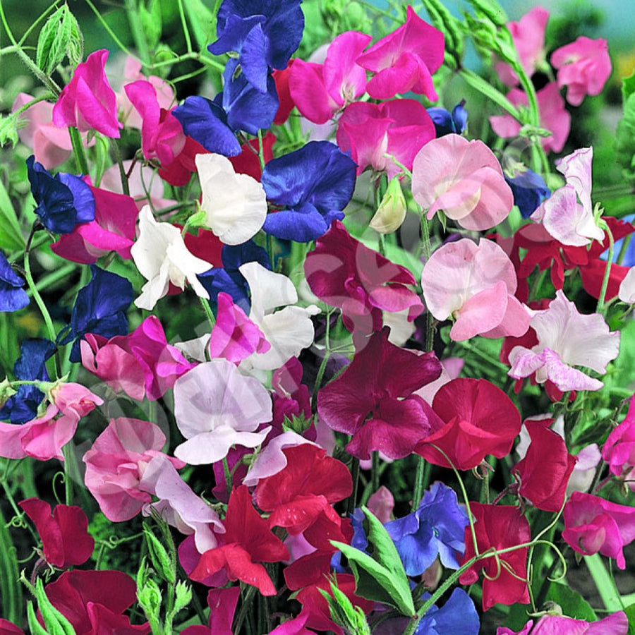 Sweet Pea Spencer mixed