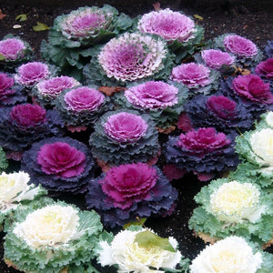 Ornamental Cabbage - Flower Seeds