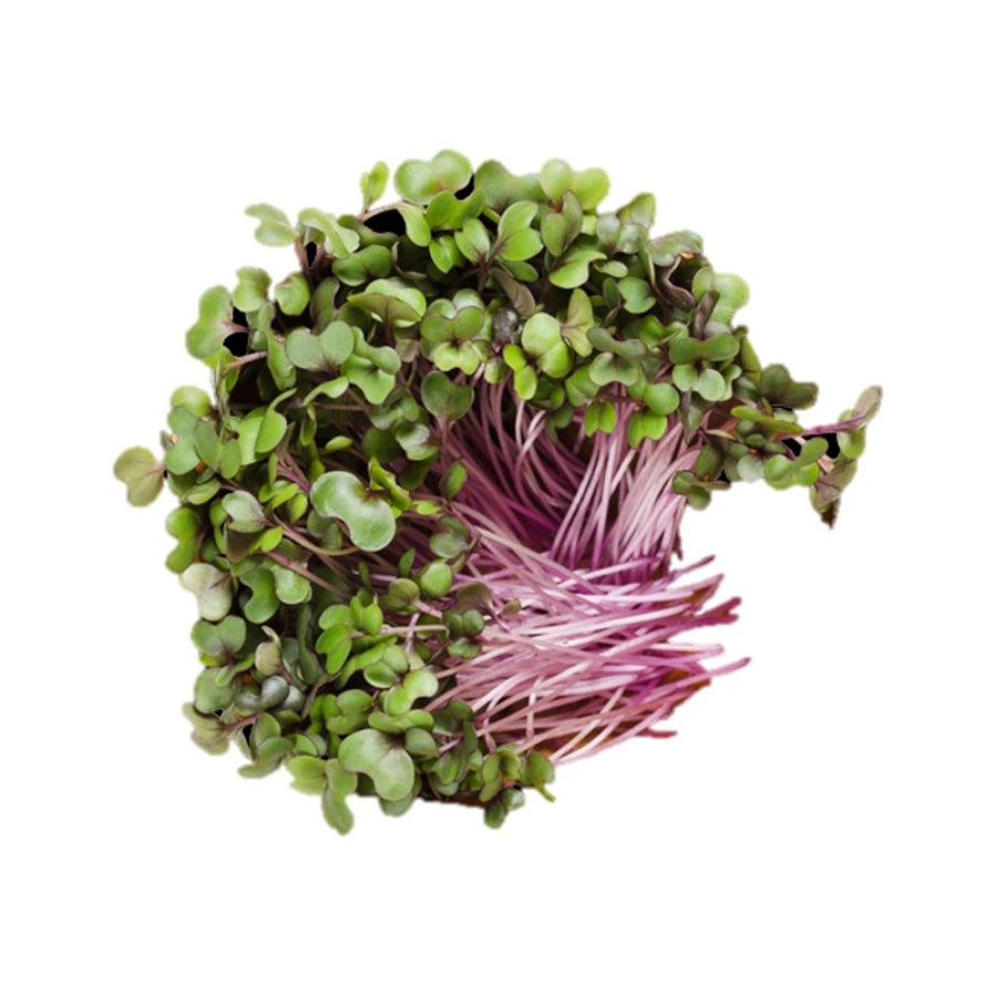 Red Cabbage - Microgreens  - Buy Online