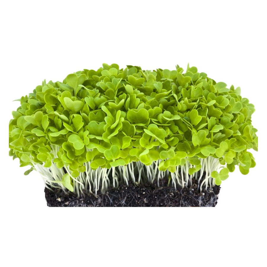 Cabbage - Microgreens