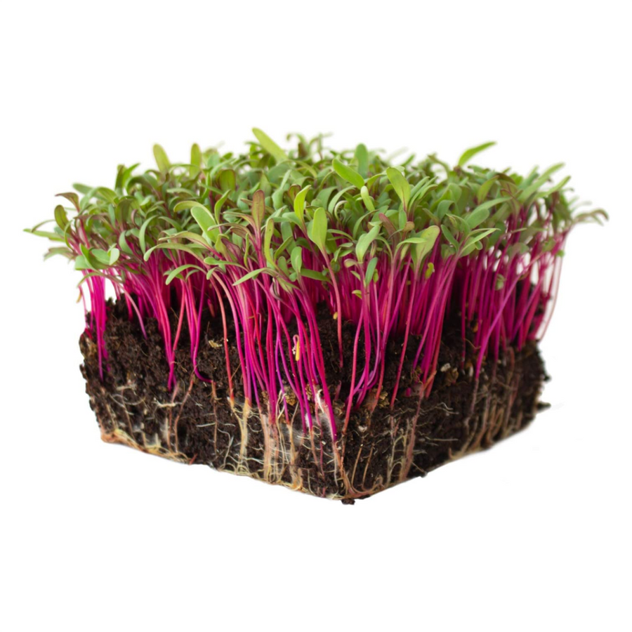 Beetroot - Microgreens
