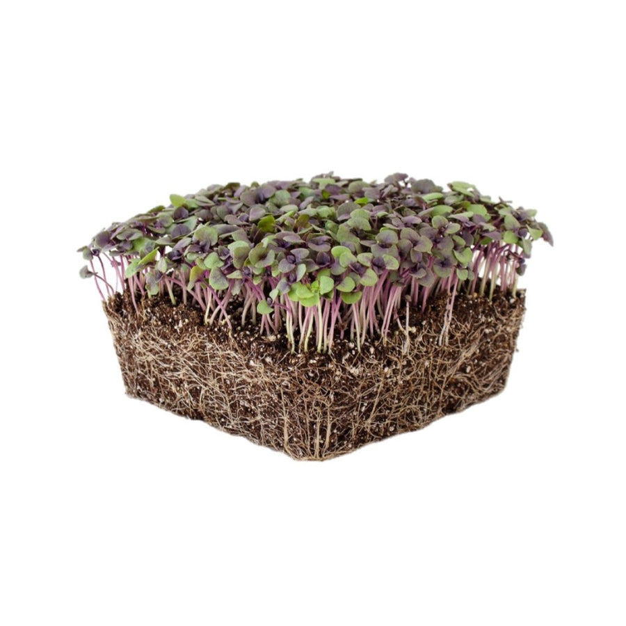 Basil (Dark Opal - Purple) - Microgreens