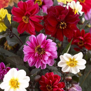 Dahlia Dwarf Red Skin Mixed