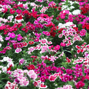 Dianthus F-1 Grace Double Fld Mixed (Hybrid)