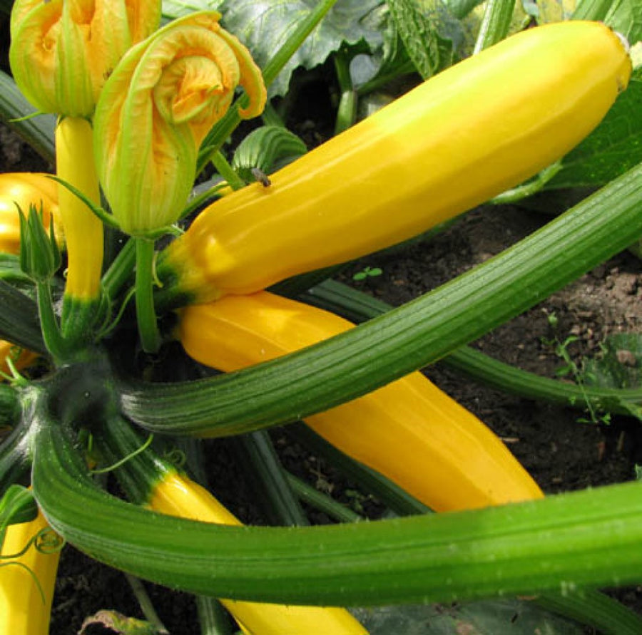Zucchini F-1 Hybrid Yellow Beauty