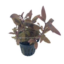 Load image into Gallery viewer, Alternanthera reinechii 'Mini'