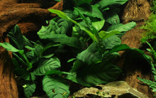 Load image into Gallery viewer, Anubias barteri 'Coffeifolia' [Tropica]