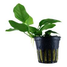 Load image into Gallery viewer, Anubias barteri nana [Tropica]