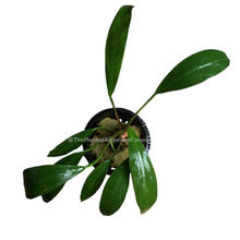 Load image into Gallery viewer, Anubias lanceolata