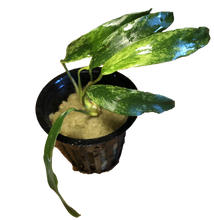 Load image into Gallery viewer, Anubias minima 'Marble'