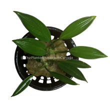 Load image into Gallery viewer, Bucephalandra aridarium