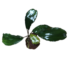 Load image into Gallery viewer, Bucephalandra sp 'Broad Leaf'