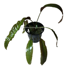 Load image into Gallery viewer, Cryptocoryne usteriana
