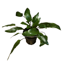 Load image into Gallery viewer, Cryptocoryne  wendtii 'Green'