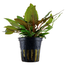 Load image into Gallery viewer, Cryptocoryne wendtii 'Tropica' [Tropica]