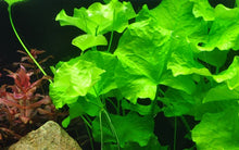 Load image into Gallery viewer, Nymphoides hydrophylla 'Taiwan' [Tropica]