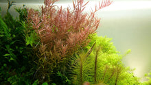 Load image into Gallery viewer, Rotala rotundifolia [Tropica]