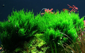 Taxiphyllum 'Flame' (Moss) [Tropica]