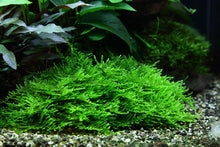 Load image into Gallery viewer, Taxiphyllum 'Spiky' (Moss) [Tropica]