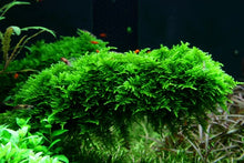 Load image into Gallery viewer, Vesicularia dubyana 'Christmas' (Moss) [Tropica]