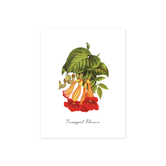 trumpet flowers in red and yellow with greenery with words trumpet flower at the bottom printed on matte white paper