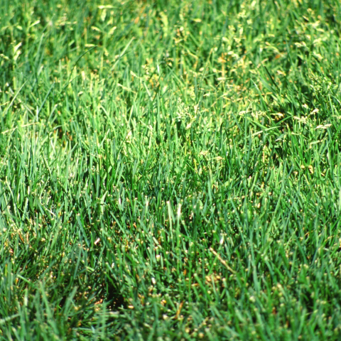 Annual Bluegrass: How to Kill Bluegrass Weeds