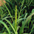 Barnyardgrass: How to Kill This Annual Weed
