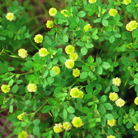 Clover, Large Hop: The Yellow Clover