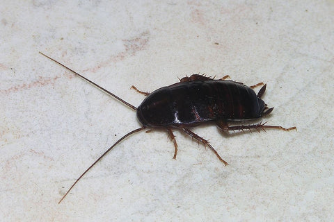 A female Oriental cockroach