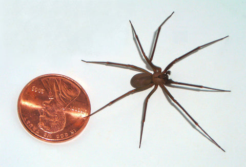 Brown recluse spider next to a penny