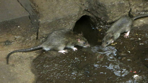 Rats in a subway