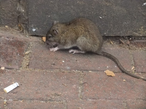 Rat on the sidewalk
