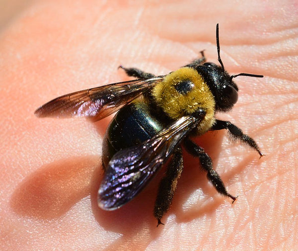 A carpenter bee in someone's hand