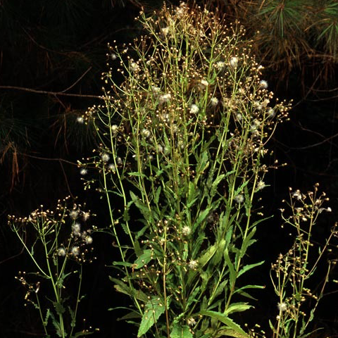 Image of American Burnweed