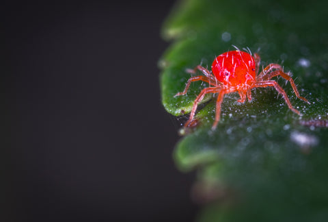 Spider Mites: A beginner guide to understanding and controlling