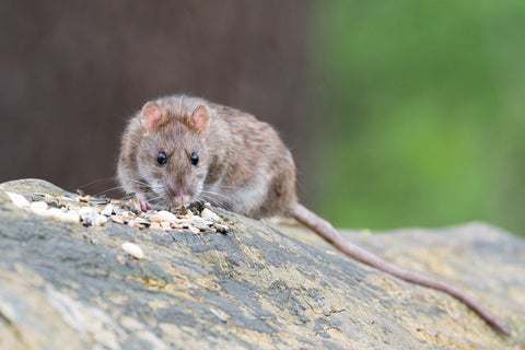 A brown rat