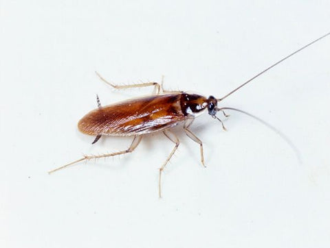 A brown-banded cockroach