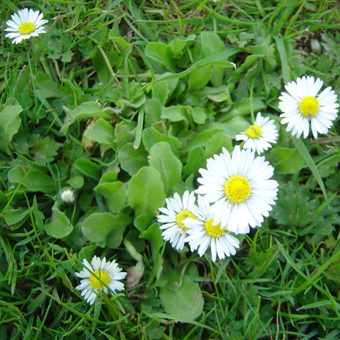 English Lawn Daisy