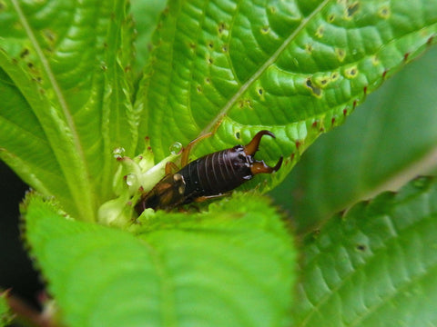 Earwig outside on a leaf