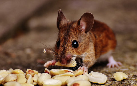 A mouse eating nuts