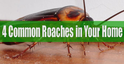 Common roaches in homes