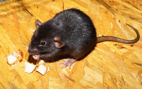 A rat eating food