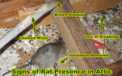 Rat in attic causing damage