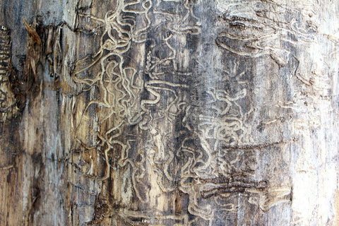 Termite tunnels in wood